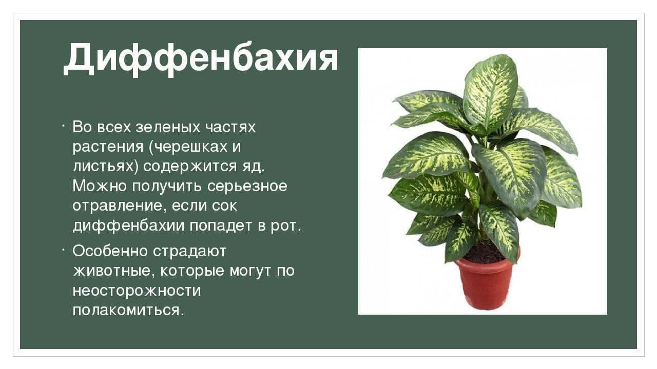 Осторожно – ядовитые комнатные растения!
