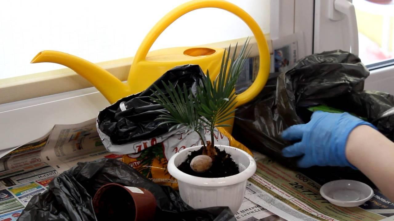 Уход за цикасом в домашних условиях: 8 основных правил (+отзывы)