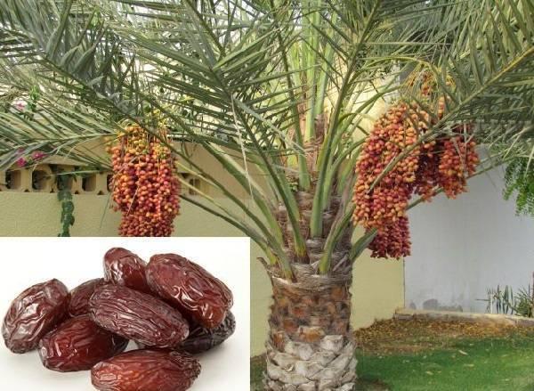 Плоды финики — дерево плодоносящее в домашних условиях