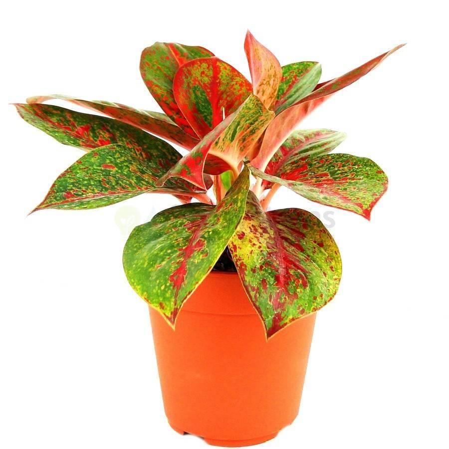 Как вырастить цветок аглаонема