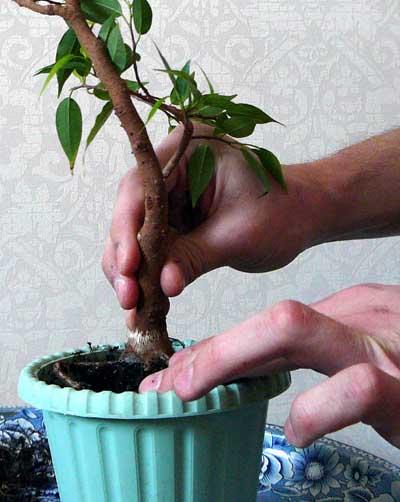 Фикус наташа — описание цветка и правила ухода дома