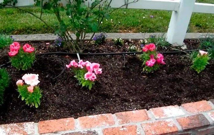 Годеция выращивание из семян когда сажать