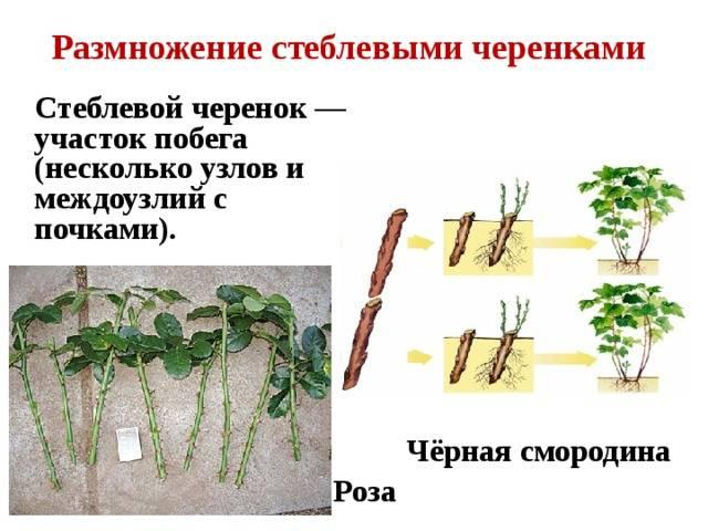 Основные способы размножения древовидного пиона