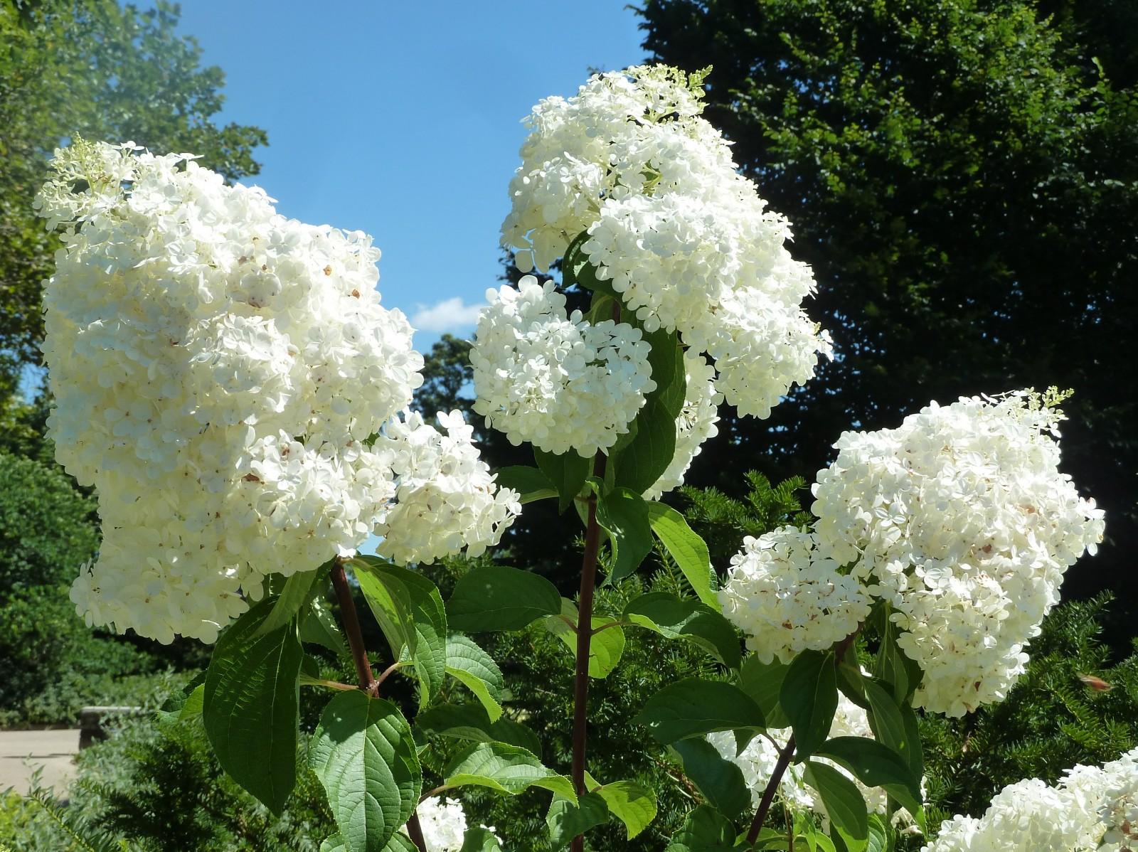 Цветок, похожий на гортензию, — как называется?