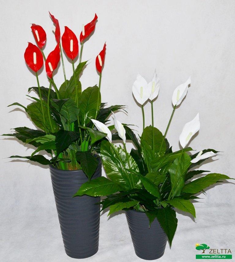 Почему опускает листья, вянет цветок «женское счастье»? как спасти поникший спатифиллум?