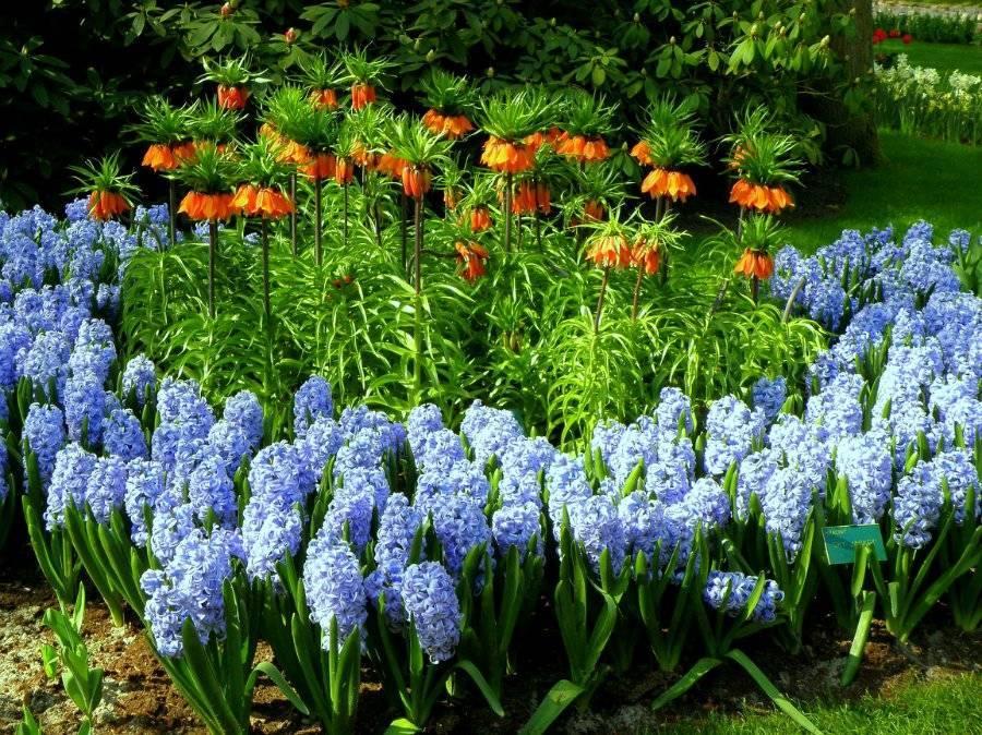 Луковичные садовые цветы и их фото