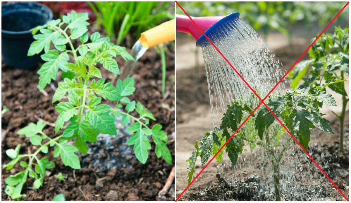Как посадить и ухаживать за спиреей иволисто в открытом грунте: полив, удобрение