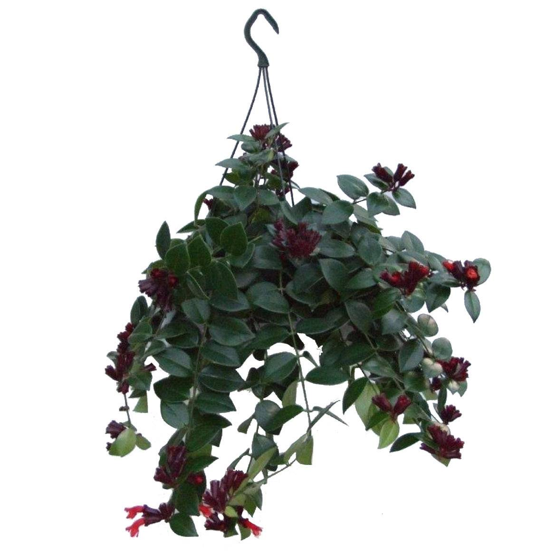 Цветок эсхинантус — все о нем, виды мраморный, раста, твистер, жар-птица и др.