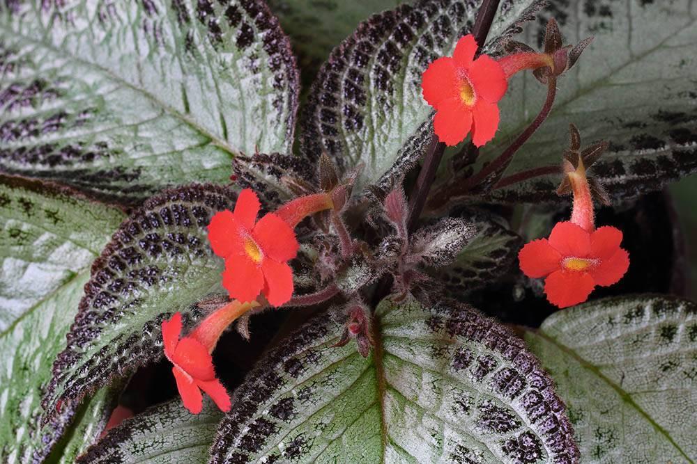 Цветущее ампельное растение эписция: уход в домашних условиях, полив и подкормка красивого цветка с серебристыми листьями