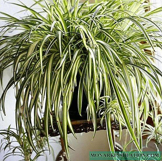 Хлорофитум: виды растения и приметы