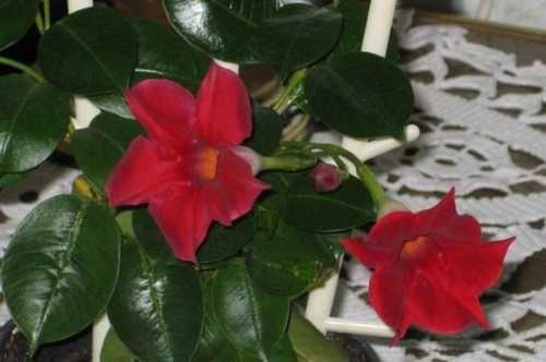 Мандевилла (дипладения, бразильский жасмин, бразильский бальзамин, мексиканское дерево любви, больвийская роза, чилийский жасмин)
