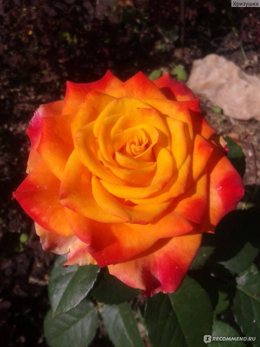 Описание и характеристики почвопокровной розы сорта боника 82: как выращивать