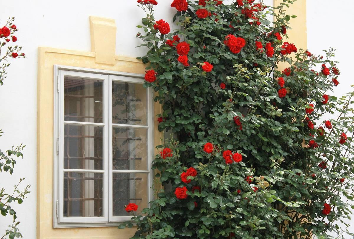 Почему не цветет плетистая роза, а растет в высоту
