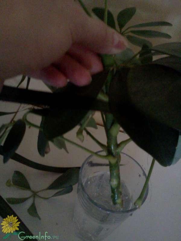 Семенами спатифиллум размножать или делением: как и в какой горшок посадить растение в домашних условиях и где его поставить, а также уход за цветком в первое время