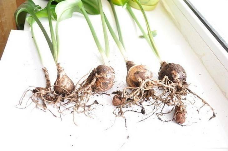 Многолетнее луковичное растение амазонская лилия (эухарис): уход в домашних условиях, фото, пересадка и размножение