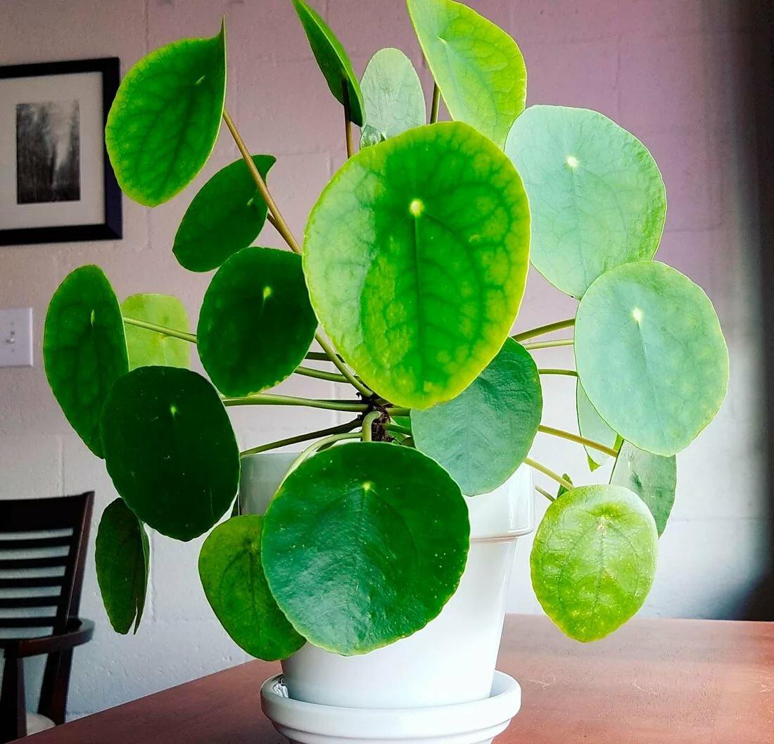 Пилея пеперомиевидная или китайское денежное дерево