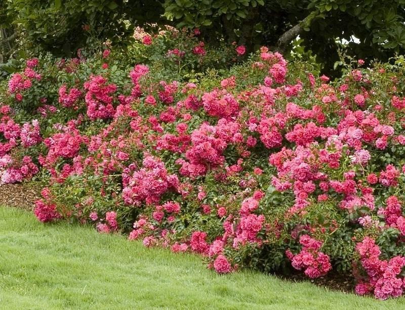 Почвопокровные розы: посадка, уход, выращивание