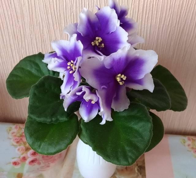 Фиалка humako inches — особенности растения