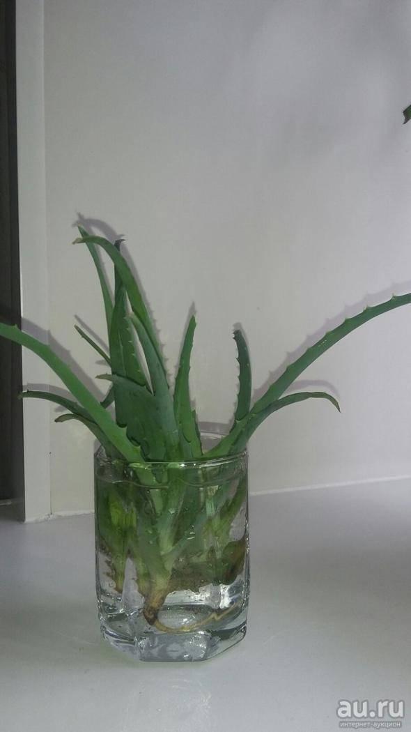 Уход за пестрым или тигровым алоэ в домашних условиях: как растить aloe variegata