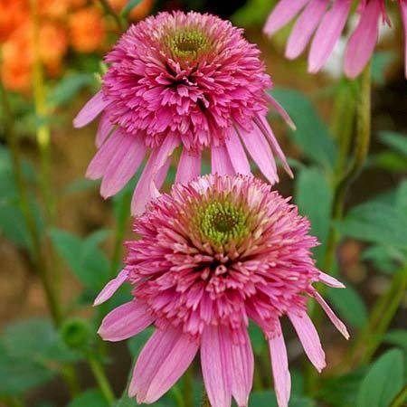 Выращиваем эхинацею, цветок для миксбордера и оранжереи