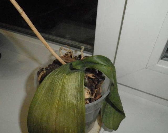 Причины увядания и опускания листьев у орхидей: во время цветения, как спасти