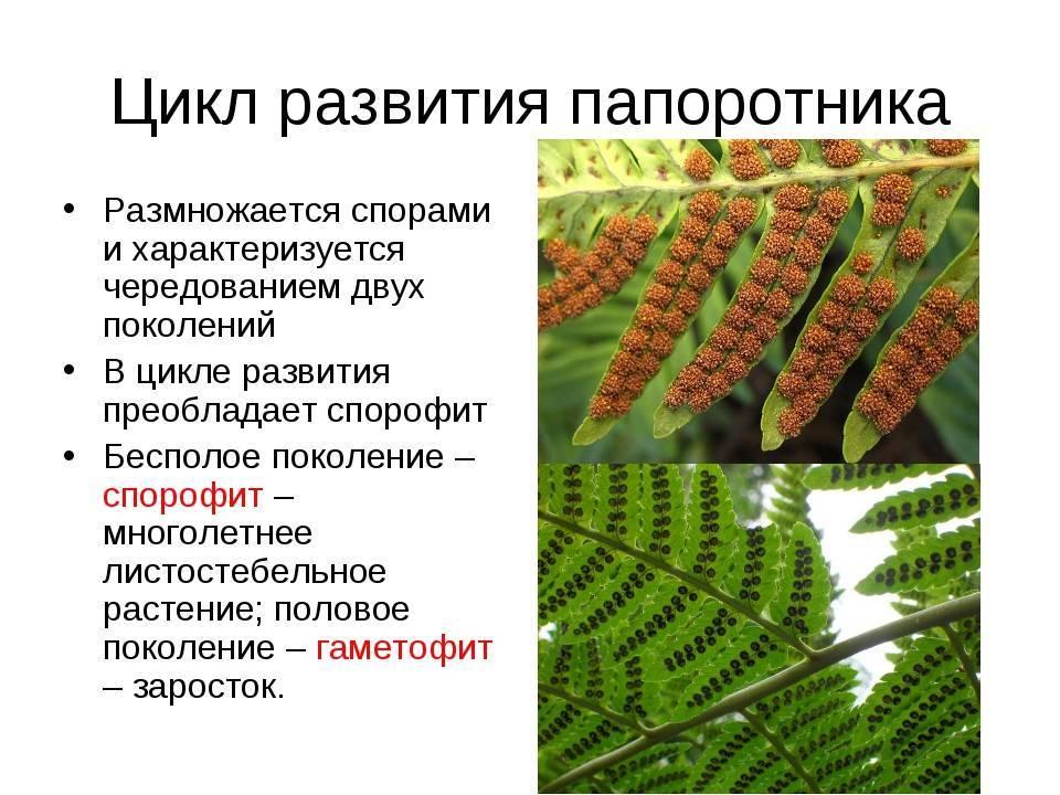 Как и чем размножаются папоротники в природе и домашних условиях. описание способов