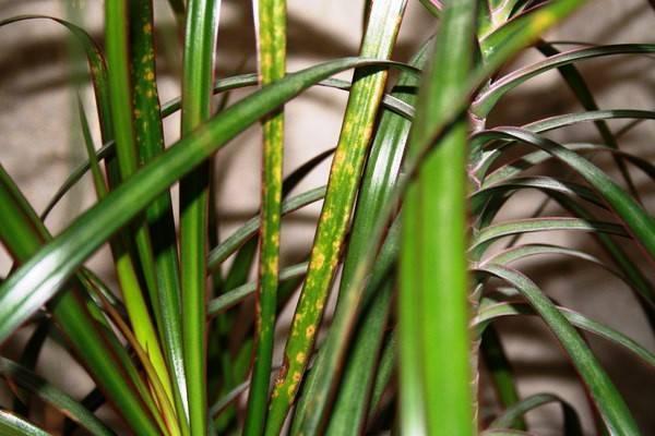 Почему желтеют и опадают листья у драцены, сохнут кончики: другие проблемы при выращивании, уход и лечение