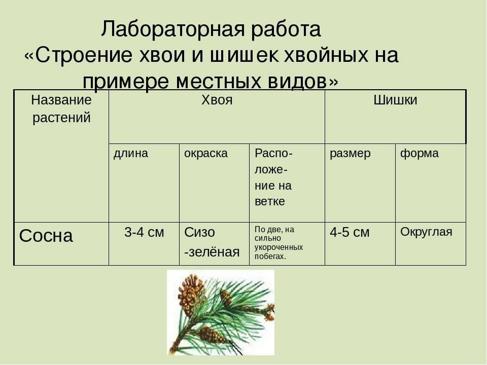 Лиственница сибирская описание и особенности
