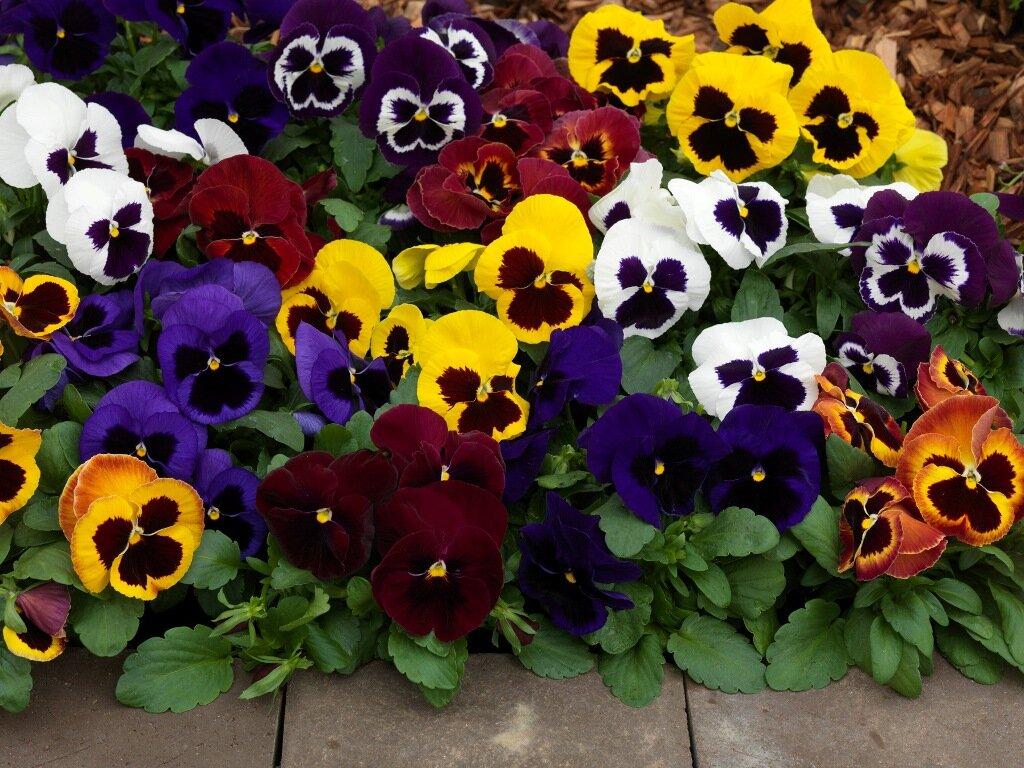 Виола ампельная (36 фото): выращивание в домашних условиях. как сажать семена на рассаду? сорта «водопад микс f1» и «летняя волна» пурпурная, «пленшифол f1 лаванда блю» и «вондерфол блю пикоти шейдес»