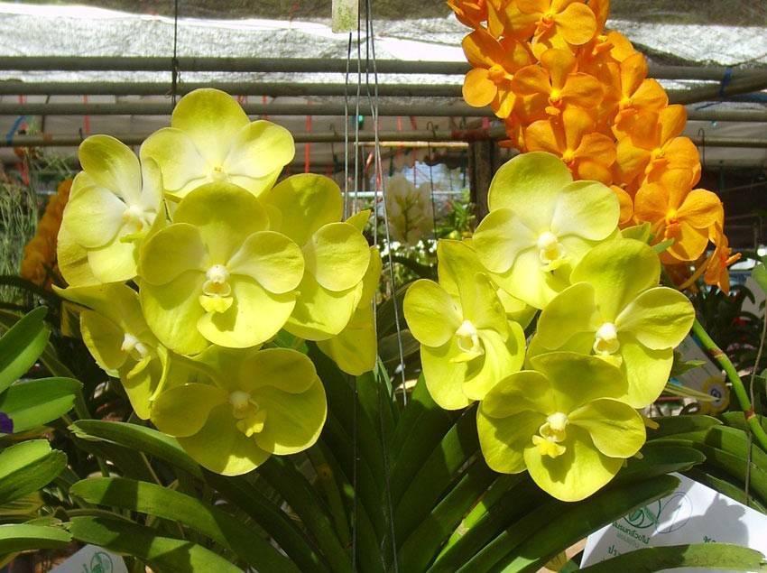 Обзор видов и сортов орхидей для посадки дома: дендробиум, каттлея, ванда, фаленопсис