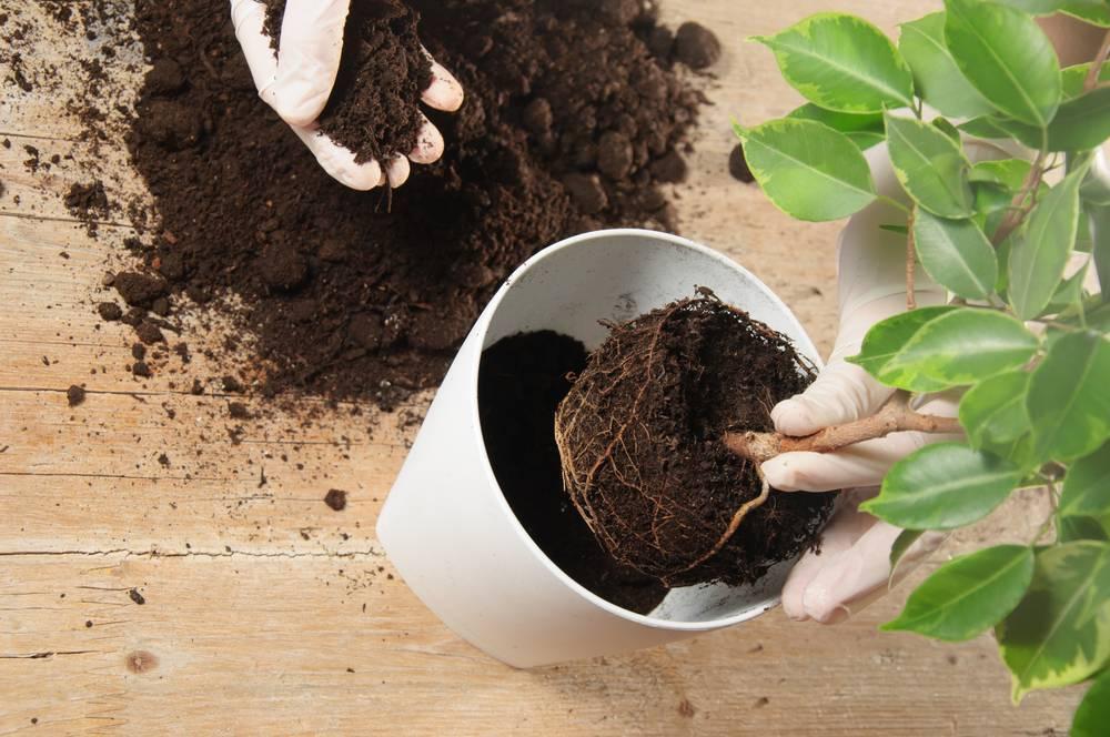 Грунт для адениума: в какую почву нужно сажать, а также оптимальный состав земли для обильного цветения и приготовление смеси своими руками для посадки растения