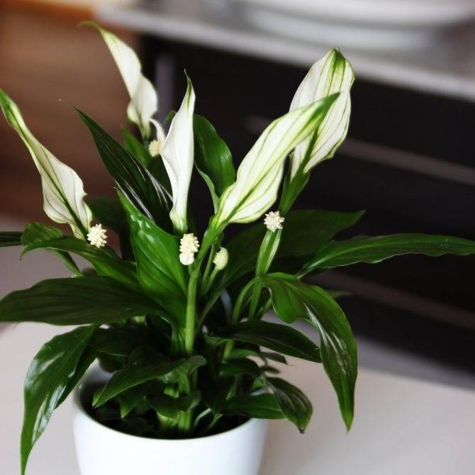 Спатифиллум — уход в домашних условиях