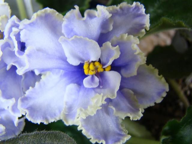 О фиалке голубой туман морева: как выглядят семена, опыление в домашних условиях
