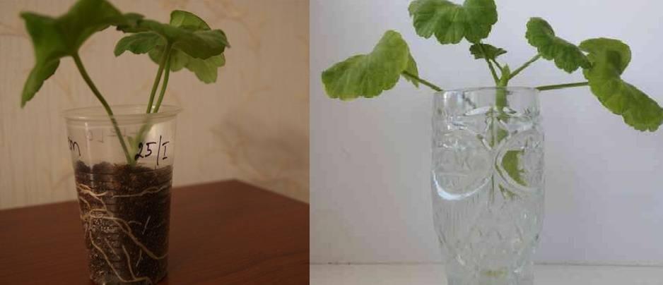 Герань королевская пеларгония: не цветет, как заставить цвести?