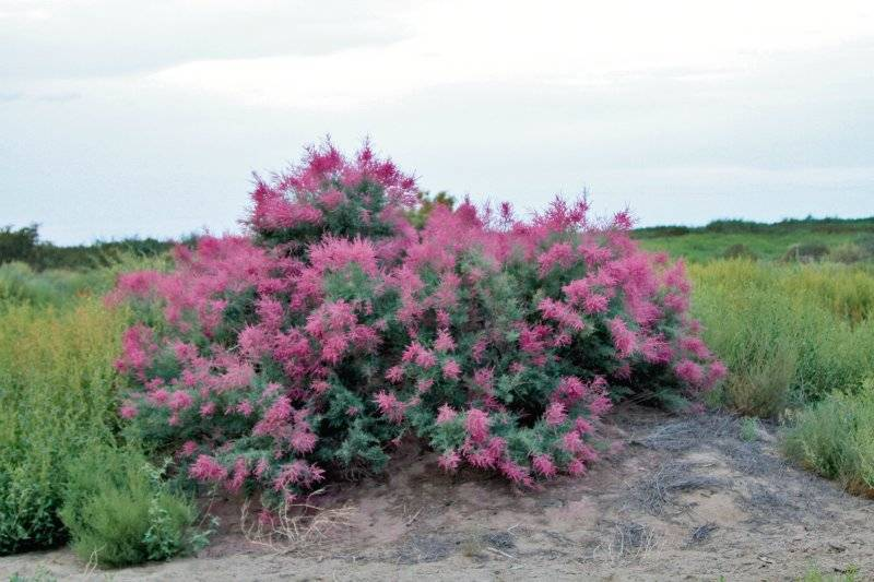 Тамарикс (гребенщик): виды кустарника и выращивание