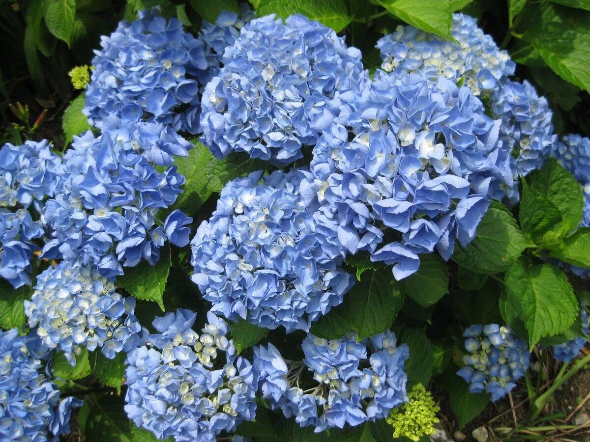 Гортензия сортовая: описание неприхотливых сортов для российских садов