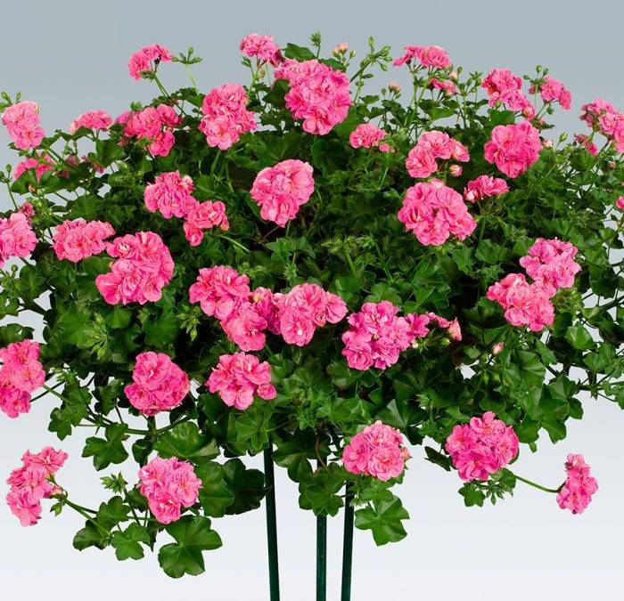 Уход за геранью ампельной в домашних условиях: выращивание, прищипывание и цветение