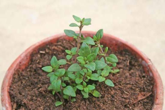 Выращивание тимьяна на участке