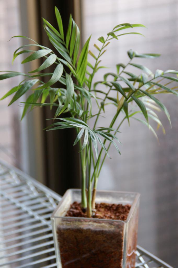 Комнатная пальма хамедорея: уход в домашних условиях. советы для начинающих