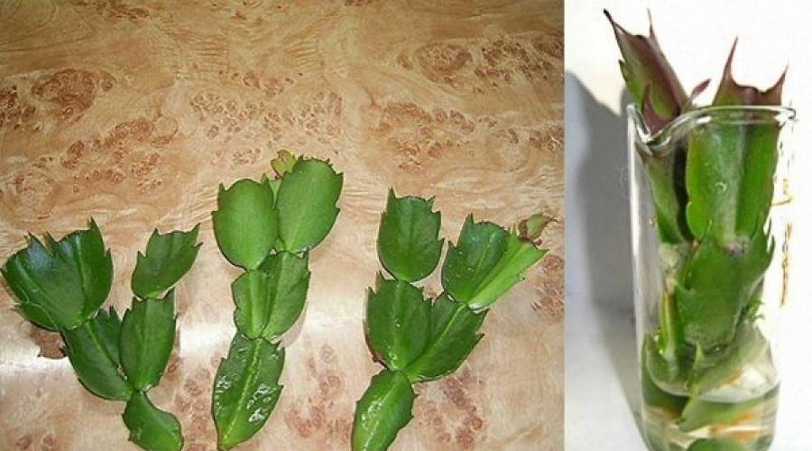 Как пересадить декабрист? пересадка шлюмбергеры в домашних условиях. в какой горшок можно пересаживать зигокактус? уход за цветком
