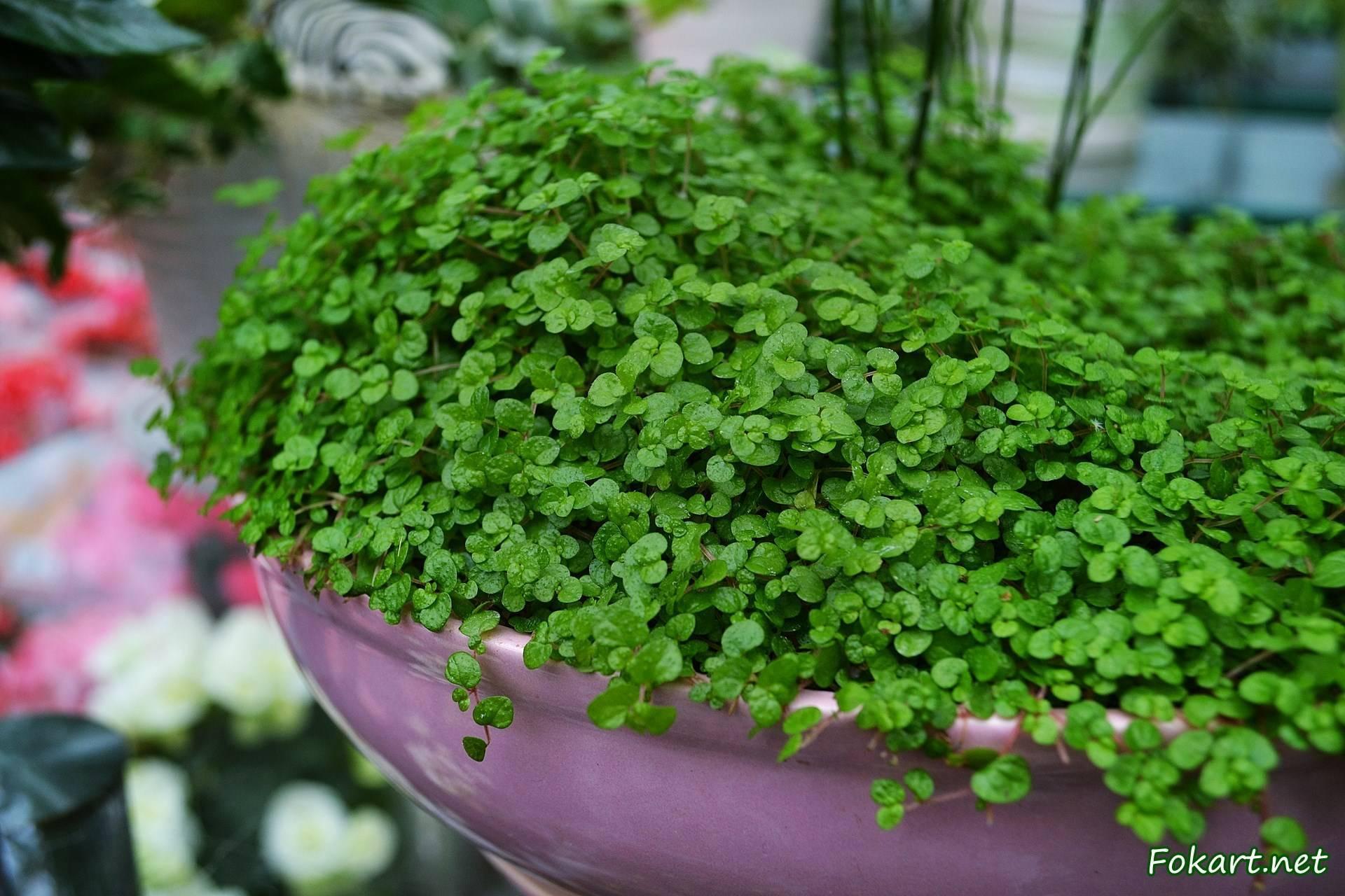 Солейролия: описание и уход за растением