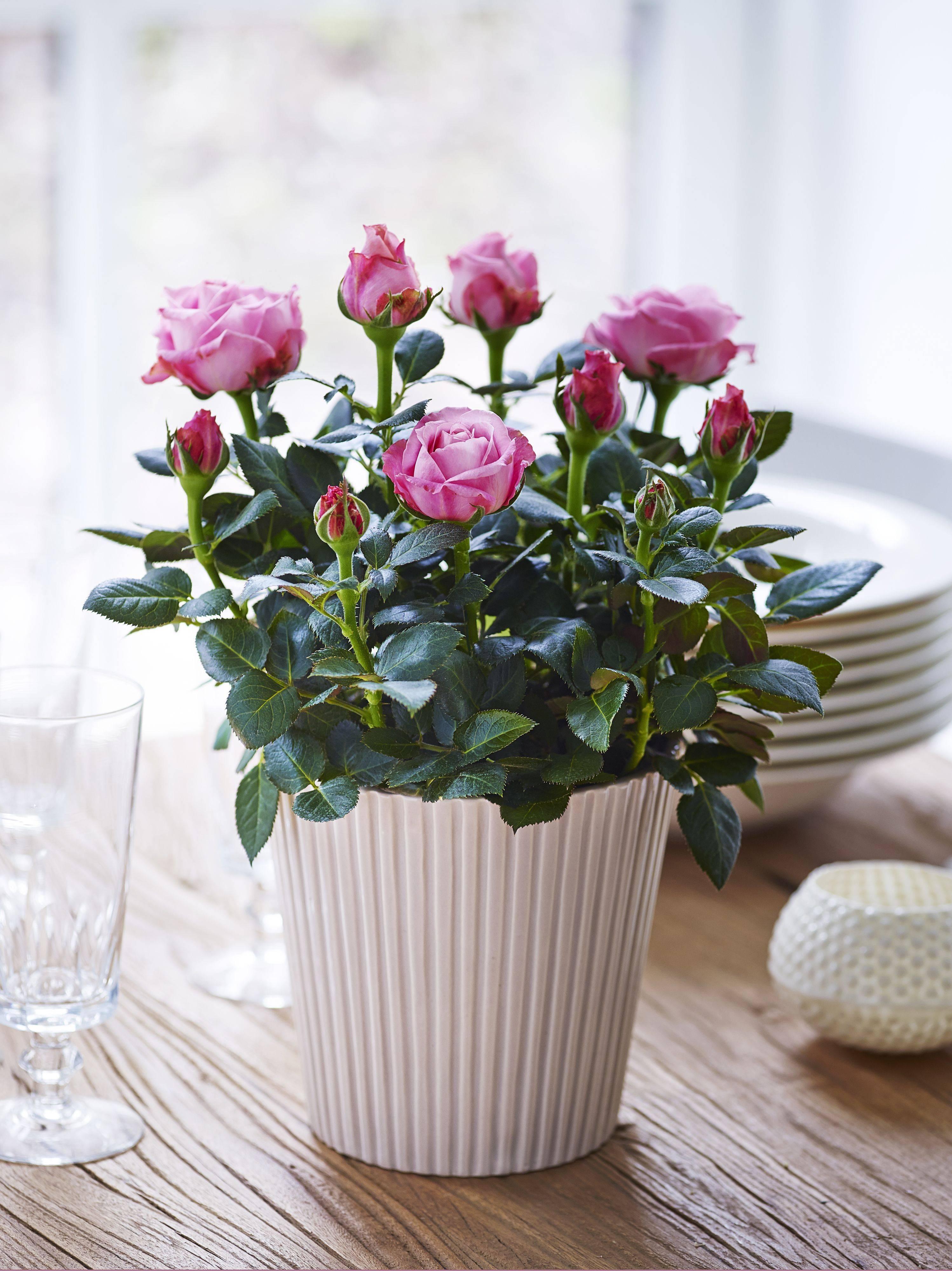 Роза в горшке: уход за комнатной розой в домашних условиях