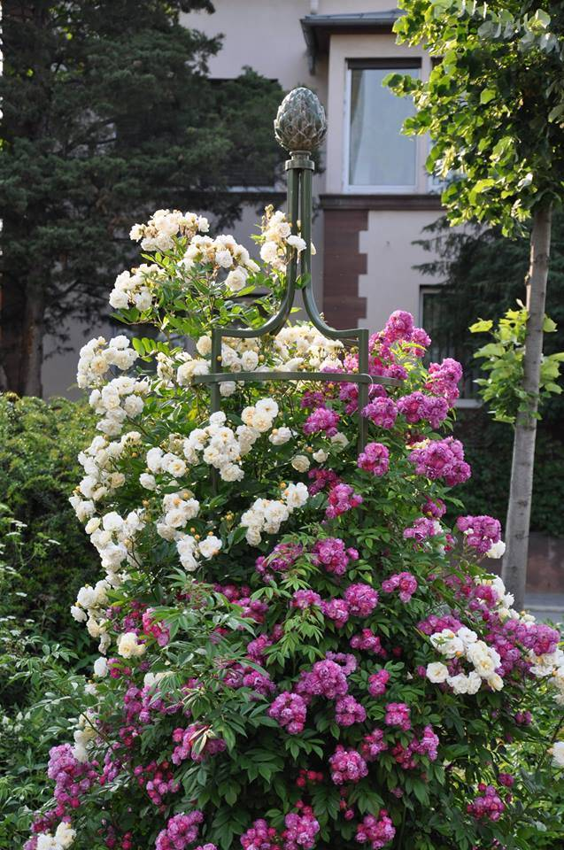Роза хоуп фо хьюманити (hope for humanity) — описание сорта