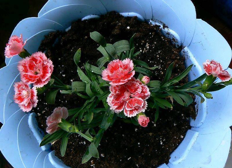 Правила ухода за пахистахисом дома: примеры размножения и заболеваний цветка