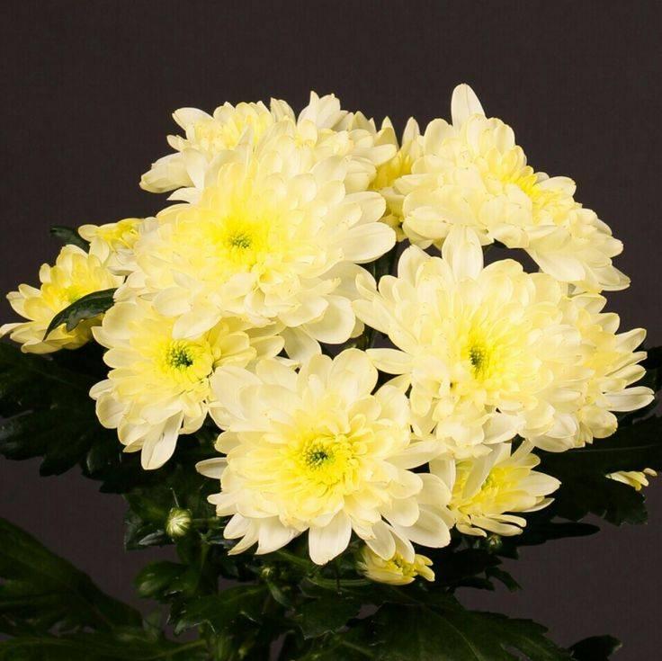 Сорта кустовых хризантем: саб, оптимист и зелёные цветы