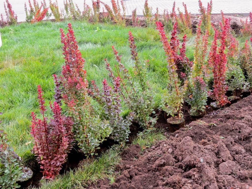 Барбарис Наташа — описание сорта и выращивание