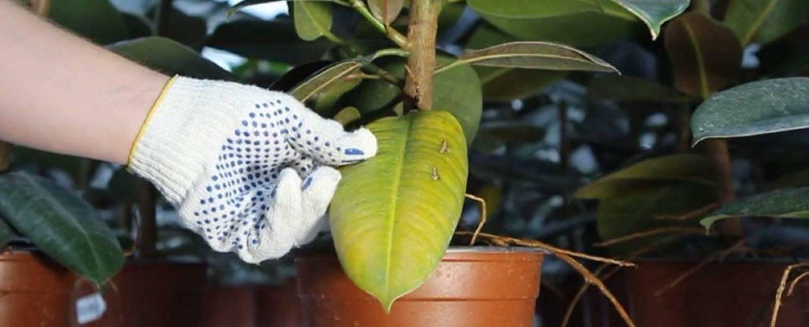 Уход за фикусом карликовым в домашних уловиях