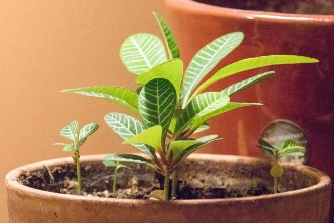 Выращивание молочая беложильчатого: как посадить, ухаживать, удобрять, размножать