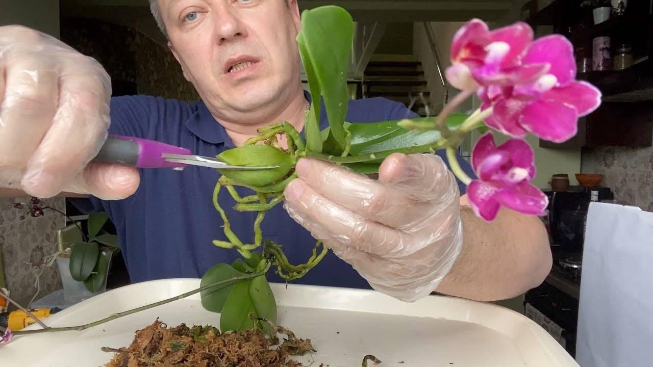 Пошаговая инструкция по пересадке орхидей в домашних условиях