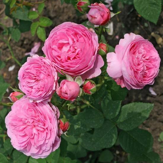 Роза августа луиза (augusta luise): описание сорта и правила выращивания